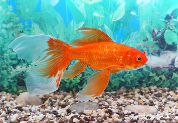 Pet-Goldfish